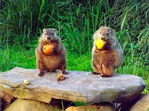 Groundhogs in your yard