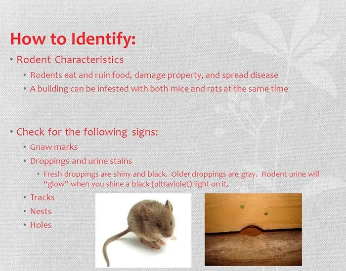 How to Identify Mice Infestation