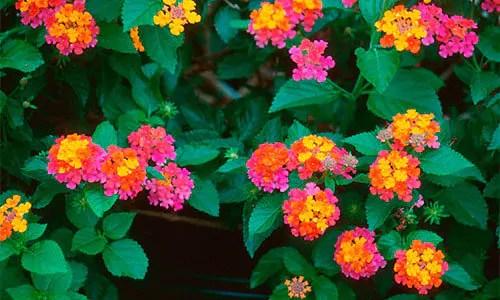 Lantanas flowers