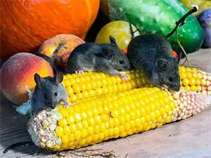 Mice and corn