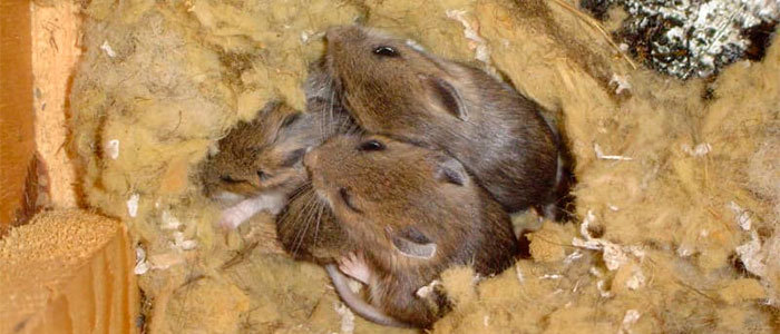 Mice nest in insulation