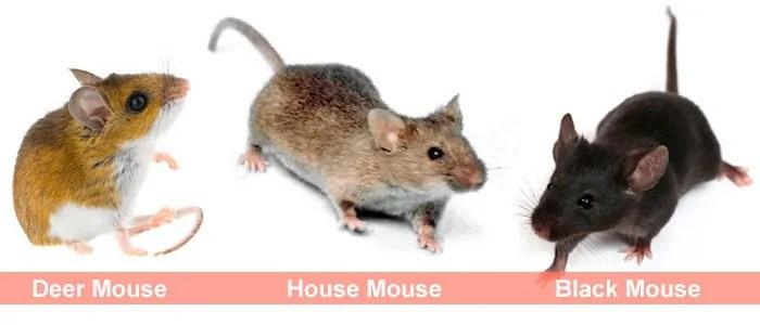 Mice types