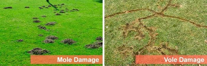 Mole vs Vole Damage