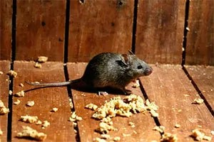 Mouse and food