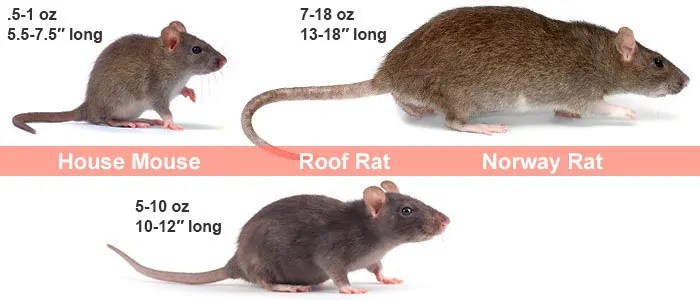 House mouse, Roof rat and Norway rat