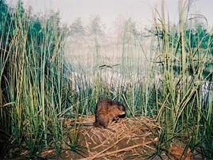 Muskrats habitat
