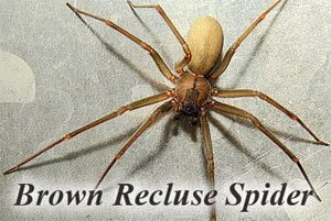 Non-chemical Methods of Killing Brown Recluse Spiders