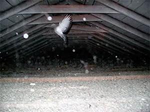 Pigeon in attic
