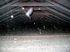 Pigeon in attic