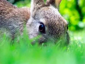 Strong scent of a predator for rabbits get out