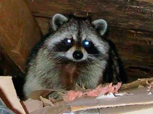 How To Get Rid Of Raccoons Best Raccoon Control Tips
