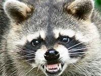 Raccoon rabies