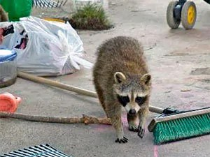 Raccoons eliminating: repellents and deterrents