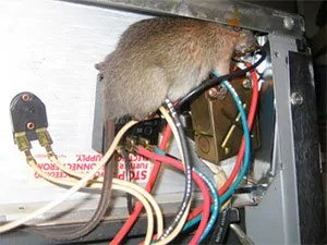 How To Remove Crafty Rats In The Walls Identification And