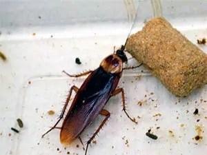 Identify roach poop