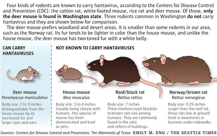 Rodents hantavirus