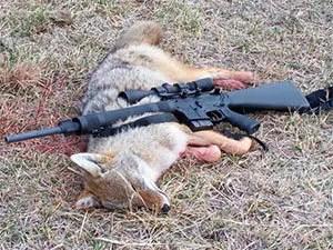 Shooting coyote