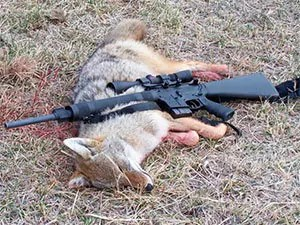 Shooting coyote
