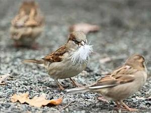Sparrows damage