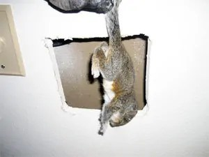 Squirrels in the walls