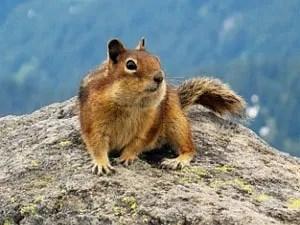Tricks to control ground squirrels