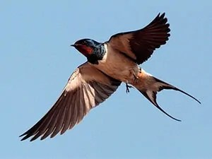 How to Get Rid of Barn Swallows: Effective Tips to Control