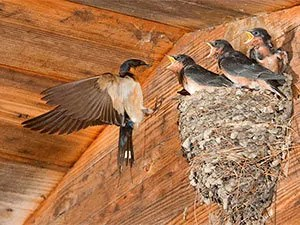 Swallow nest problems