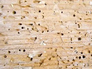 Termites on wood: infestation