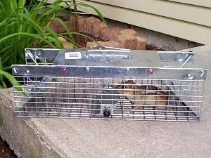 Chipmunks trapping - the best control method