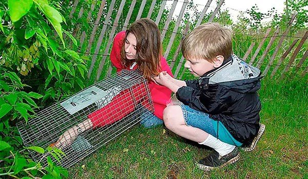 Rabbit trapping
