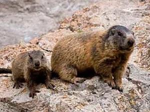 Groundhogs habitat