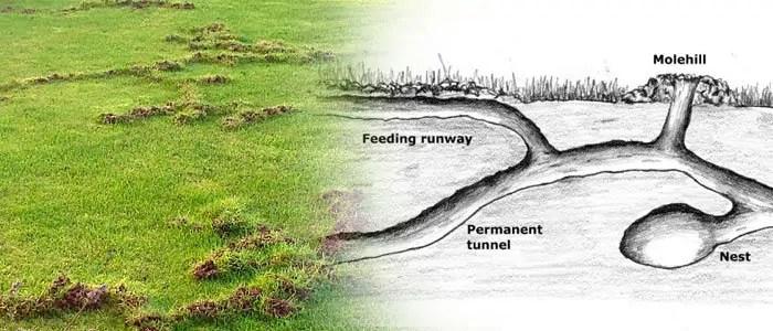 Moles underground