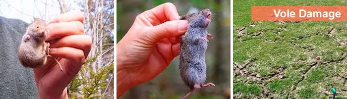 Vole in hands and vole damage