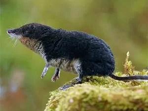 Wild shrew