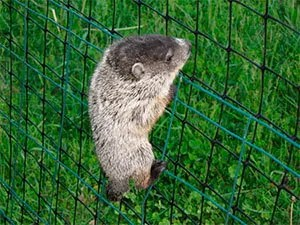 Groundhogs fence
