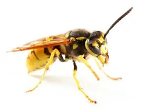 Best Fundamentals to Eliminate Unwanted Yellow Jackets Found in the Ground and in House