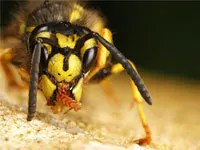 Getting rid of yellow jackets