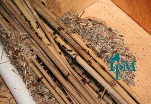 How To Get Rid Of Carpenter Ants 7 Methods Kill E M Pest Management