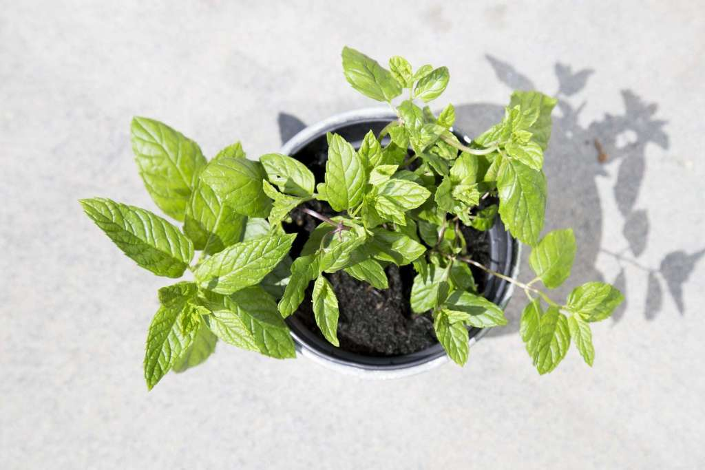 many uses of mint