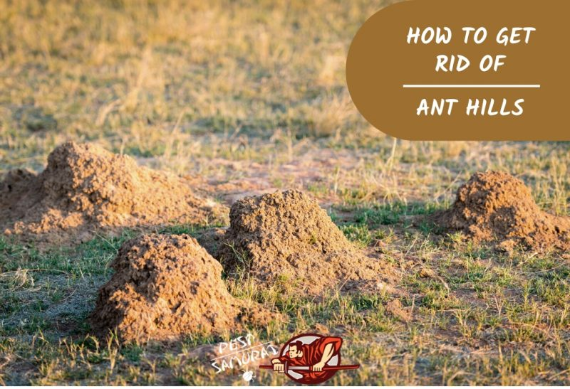 How To Get Rid Of Ant Hills A Complete Guide Pest Samurai