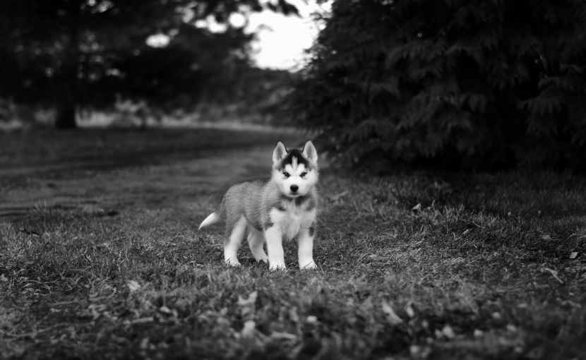 grayscale photo of siberian husky puppy on grass field