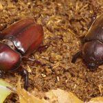カブトムシの産卵セットの簡単な作り方は?おすすめのアイテムも!