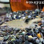 ヤマトヌマエビと混泳できる魚・エビや貝の種類は?相性が悪いのは何?