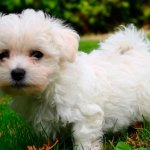 Would You Like To Buy A Cute Maltese Puppy We Will Help You
