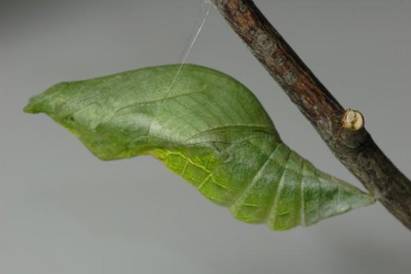 アゲハ蝶 蛹