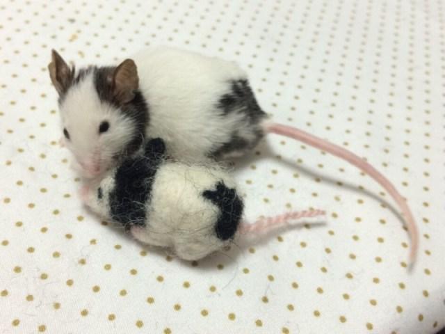 パンダマウス 繁殖