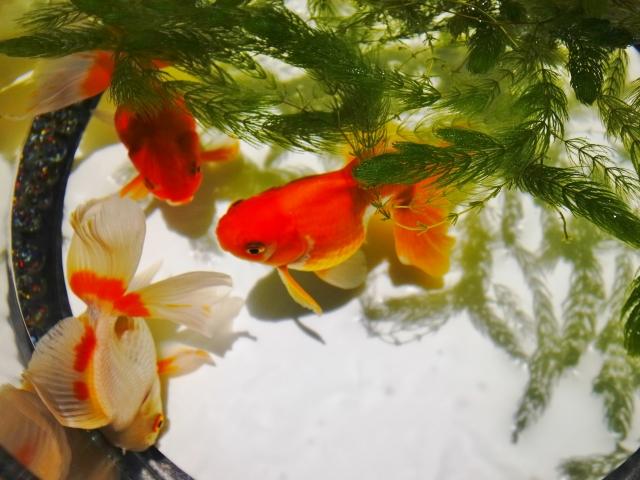 金魚 白い