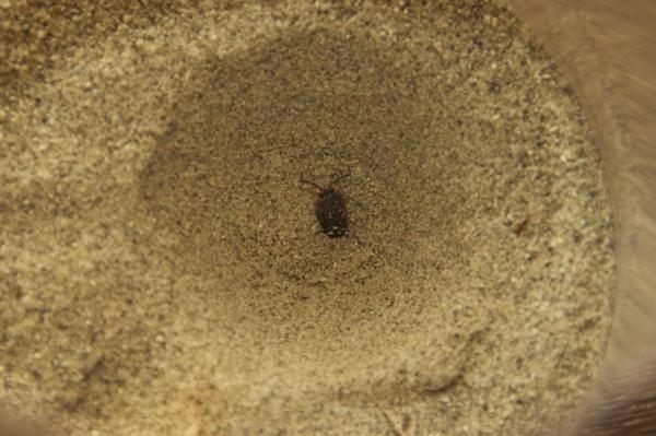 アリジゴク 生態 飼育方法