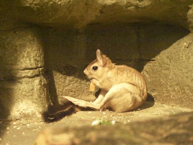トビウサギ 飼育