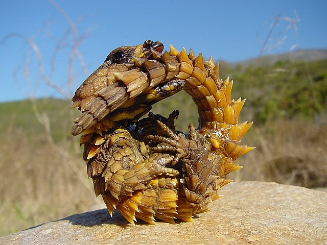 ヨロイトカゲ 種類